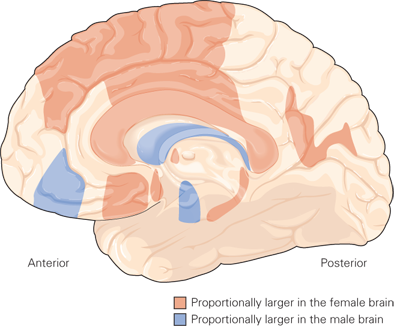 Brain Dimorphism